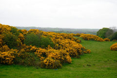 Western gorse, Northern Ireland. Western gorse, common in Ireland in Northern Ireland Stock Photos