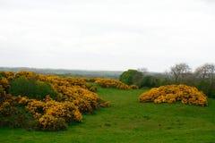 Western gorse, Northern Ireland. Western gorse, common in Ireland in Northern Ireland stock photos