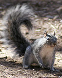 Western Gray Squirrel Stock Images