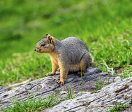 Western Gray Squirrel Lake Coeur d` Alene Idaho Stock Images