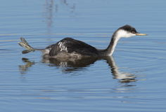 Western Grebe. At Lower Klamath National Wildlife Refuge Stock Images