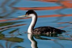 Western Grebe. (Aechmophorus occidentalis) in calm water in Ventura, California Royalty Free Stock Images