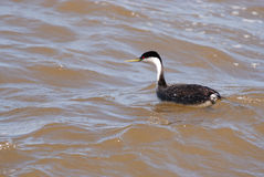 Western Grebe Stock Photography