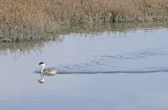 Western Grebe Royalty Free Stock Photography