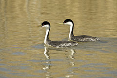Western Grebe Royalty Free Stock Photo