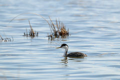 Western Grebe (Aechmophorus occidentalis) Royalty Free Stock Image