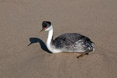 Western grebe [aechmophorus occidentalis] on Surfers Knoll beach at McGrath State Park in Ventura California USA