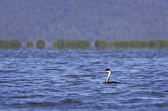 Western Grebe Bird on Blue Lake Stock Images