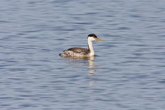 Western Grebe Royalty Free Stock Images