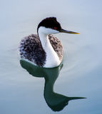 Western Grebe Royalty Free Stock Photos