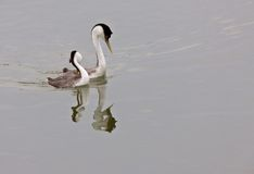 Western Grebe on Lake Stock Images