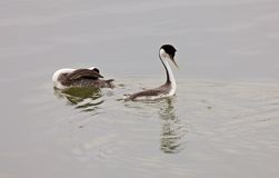 Western Grebe on Lake Royalty Free Stock Photos