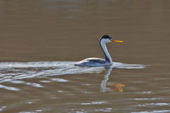 Western Grebe in the morning sun Stock Photography