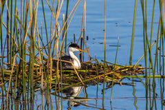 Western Grebe Stock Images