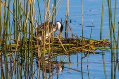 Western Grebe. On Nest Tending To Three Eggs, Lake Hodges, San Diego, California Stock Photo