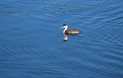 Western Grebe in Newport Backbay, California. Image  shows a Western Grebe (Aechmophorus occidentalis) swimming in the waters of the Newport Beach backbay Royalty Free Stock Photo