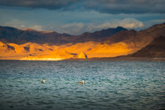 Western Grebe Pyramid Lake Nevada Royalty Free Stock Photo