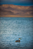 Western Grebe Pyramid Lake Nevada Royalty Free Stock Images
