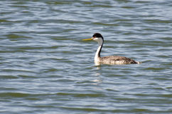 Western Grebe Swimming in the Lake Stock Photography