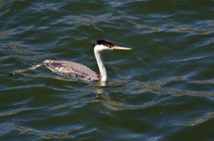 Western Grebe Swimming in the Lake Stock Photo