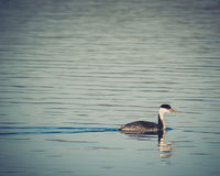 Western Grebe. A Western Grebe swimming in a lake at sunset Royalty Free Stock Image