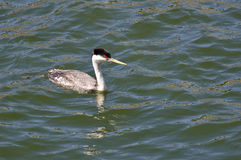 Western Grebe Swimming in the Lake Royalty Free Stock Images