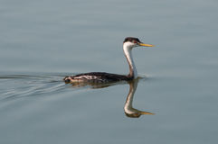 Western Grebe. Swimming in a pond stock photo