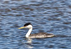 Western Grebe. A Western Grebe swims in a pond at Market Lake Wildlife Refuge near Roberts, Idaho Stock Photos