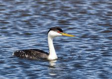 Western Grebe. A Western Grebe swims in a pond at Market Lake Wildlife Refuge near Roberts, Idaho Stock Photo
