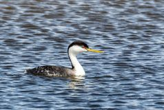 Western Grebe. A Western Grebe swims in a pond at Market Lake Wildlife Refuge near Roberts, Idaho Royalty Free Stock Photos