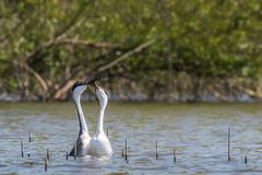 Western Grebes Stock Photography