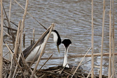 Western Grebes. Stock Image