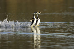 Western Grebes Courting. Two Western Grebes displaying courtship behavior by running on water of lake Royalty Free Stock Photo