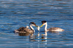 Western Grebes. Mated Western Grebe Providing Fish To Mate With Chick On Lake Hodges, San Diego, California Royalty Free Stock Image