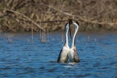 Western Grebes Royalty Free Stock Photo