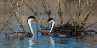 Western Grebes Stock Image