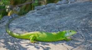 Western Green Lizard Royalty Free Stock Photography