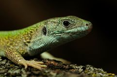 Western Green Lizard (Lacerta Bilineata) Royalty Free Stock Photography