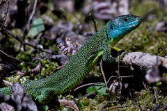 Western Green Lizard. Walking on the forest floor Stock Photo