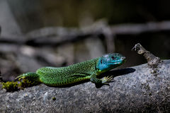 Western Green Lizard Royalty Free Stock Photo