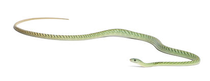 Western green mamba  - Dendroaspis viridis Stock Photo
