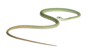 Western green mamba  - Dendroaspis viridis Royalty Free Stock Photo