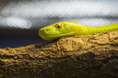 Western green mamba (Dendroaspis viridis) Royalty Free Stock Photography