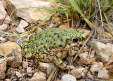 Western Green Toad, Anaxyrus debilis. Insidior, in the New Mexico desert stock photo