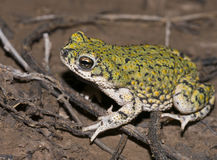 Western green toad Stock Photos
