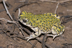 Western green toad. (Bufo debilis) in the pond covered with algae Royalty Free Stock Photography