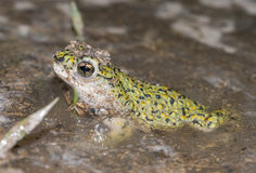 Western green toad. In the pond covered with algae Royalty Free Stock Images