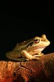 Western Green Tree Frog Stock Photos