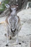 Western grey kangaroo Stock Photos