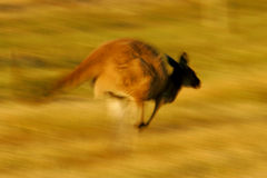 Western Grey Kangaroo Stock Photography
